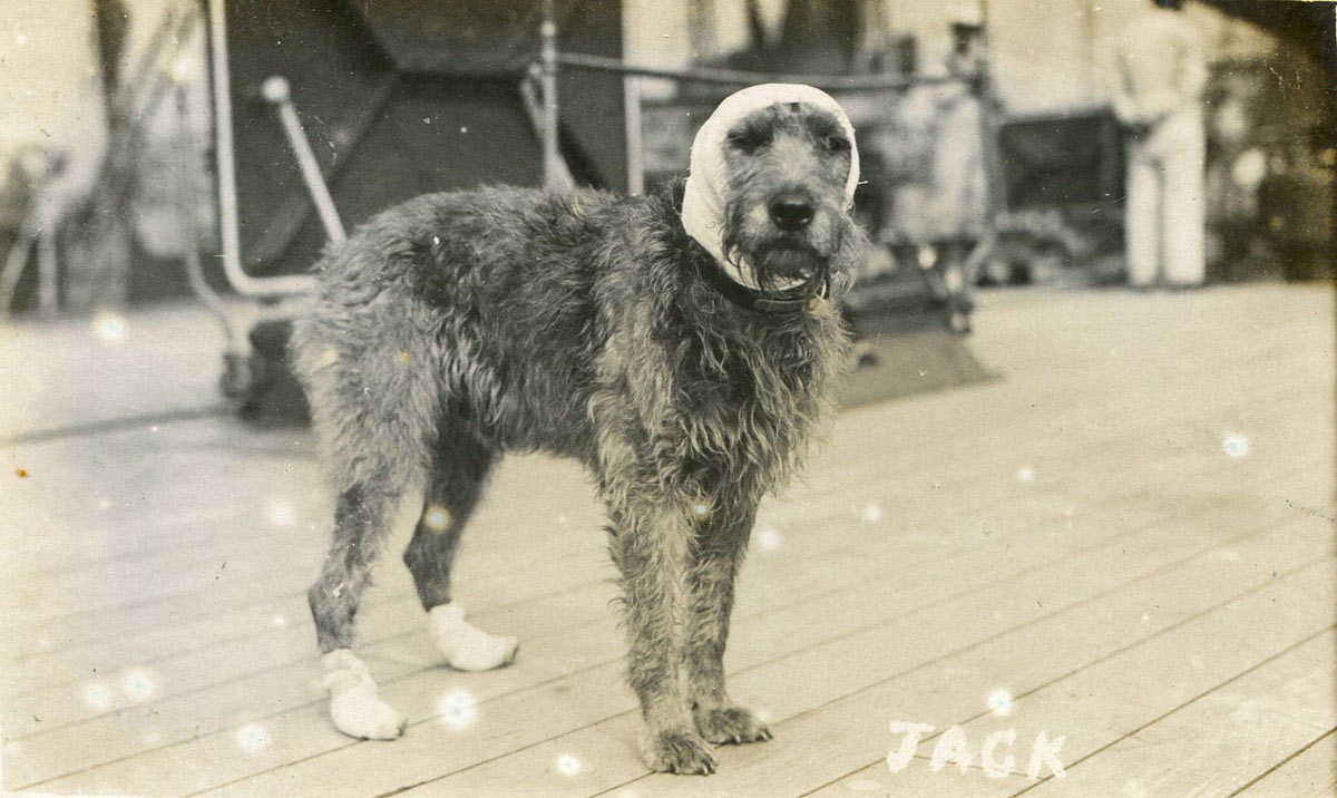 Vice Admiral Evan-Thomas's dog Jack wounded at the Battle of Jutland 31st May 1916 on board HMS Barham