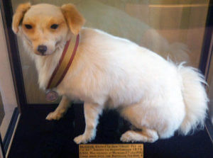 'Bobbie the Dog' of the 66th Regiment, wearing his Afghan campaign medal ribbon: Battle of Maiwand on 26th July 1880 in the Second Afghan War